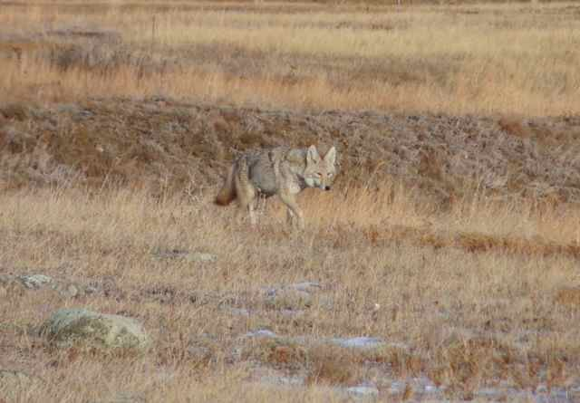 Krissy shoots another coyote with her camera